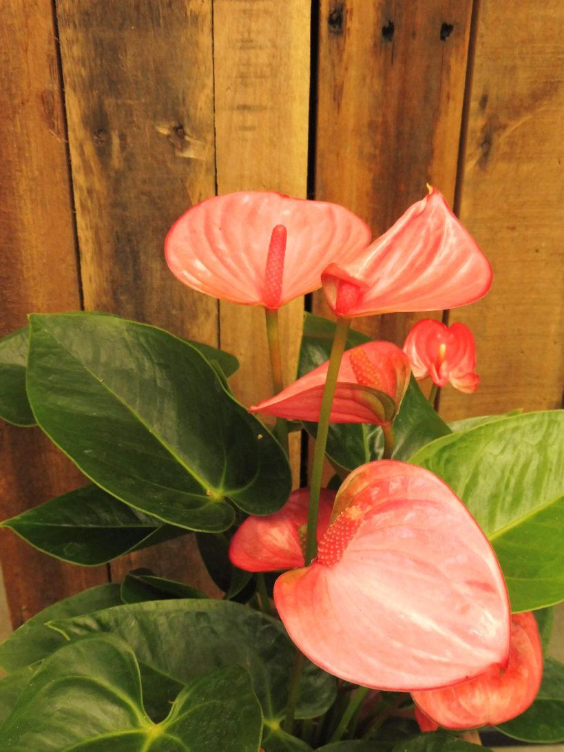 Kamerplant Topper: Anthurium of flamingoplant