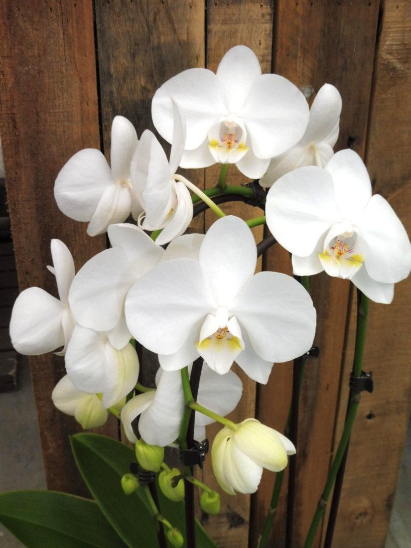 Kamerplant topper: Phalaenopsis of vlinderorchidee